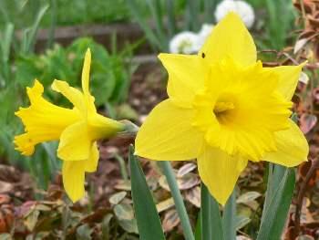 Texte für Frohe Ostern Grüße und Wünsche Osterglocken
